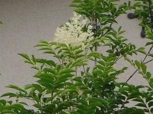 シマトネリコ花