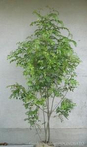 シマトネリコ木